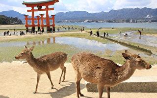 日本宫岛禁止喂食 鹿群面临饿死危机