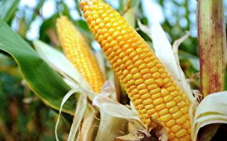 法科学家:转基因玉米致肝肾疾病和癌
