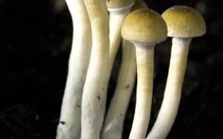 迷幻蘑菇致幻觉原因:大脑呈梦境反应