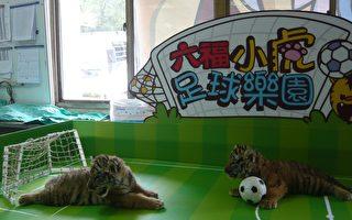 六福小虎玩世足 將耍萌見來賓
