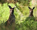 袋鼠是澳洲的代表動物,當地不少地方都有機會看到隨處蹦出的野生袋鼠。(Paul Kane/Getty Images)