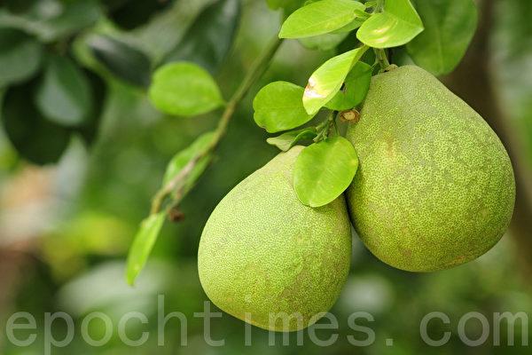 文旦是柚子的一個品種,在台灣麻豆當地對文旦有一個關於孝子的傳說。(蘇玉芬/大紀元)
