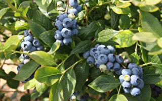 4批奧地利進口藍莓 驗出輻射超標