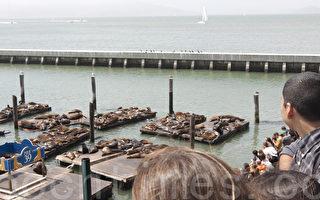 神秘消失两个月 海狮重返旧金山渔人码头