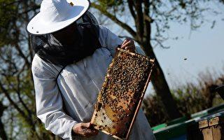天太旱 加州養蜂業受重創 蜂蜜價格飆升