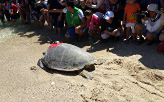 营造海龟家  绿蠵龟装追踪器