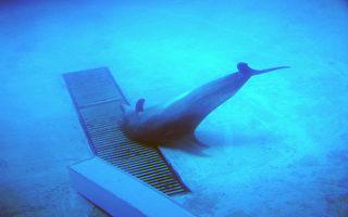 拒看表演  遏止鲸豚家庭遭捕杀