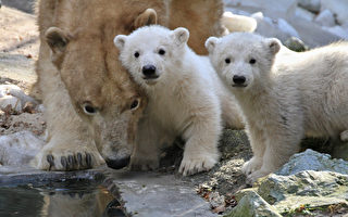 小北极熊双胞胎萌照