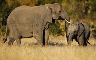 非洲象超能力  提早预知风暴