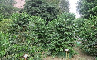 """组图:台湾咖啡节带你了解""""咖啡的一生"""""""