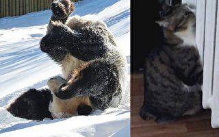 【視頻】冬天來了 熊貓和貓咪的不同反應