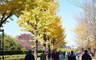 东京散步 光之丘银杏即景