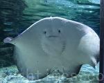 """海洋公园新鲨鱼馆""""寻鲨探秘"""",新馆是全东南亚最大的鲨鱼馆,有水容量达2200吨的巨型水缸,展出有过百条鲨鱼同魔鬼鱼。(宋祥龙/大纪元)"""