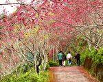 金针山冬季樱花盛开。(龙芳/大纪元)