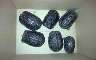 宜蘭新年查獲首宗非法展示保育類龜種
