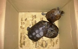 杂交龟伪装海龟新品种