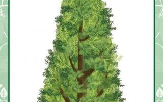 每个人都有一棵属于自己的树:柏树