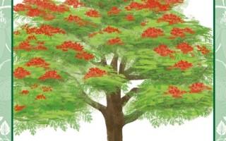 每个人都有一棵属于自己的树:凤凰木