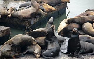 旧金山39号码头庆祝海狮到来25周年