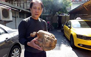 台湾民众挖出巨无霸地瓜王重7.2公斤