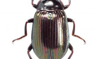 台垦丁国家公园发现3新种拟步行虫