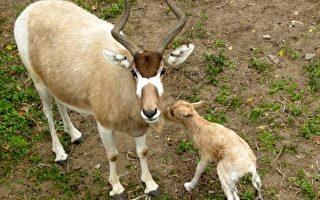喜迎羊年 池上弓角羚羊产一子