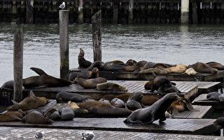 歹年冬 加州海狮饿死数量创新高