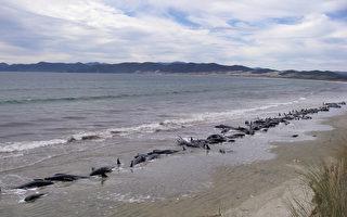 面對416頭擱淺鯨魚 紐西蘭人做了你想不到的事