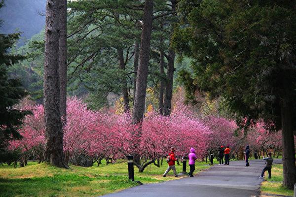 雪霸国家公园的武陵农场樱花季,每到春天有来自各地民众涌入,欣赏漫天纷飞的樱花。(雪霸国家公园管理处提供)