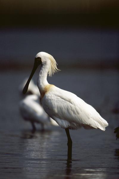 台江国家公园拥有生态多样的湿地环境,每年都吸引娇客黑面琵鹭来度冬。(台江国家公园管理处提供)
