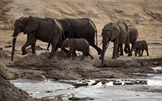 專家:救野生大象 快沒時間了