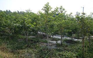 活化休耕農地 短期經濟林6年補貼54萬
