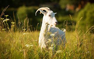 但看羊兒年便是吳家國 童謠預言元之亡