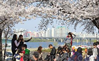 组图:韩国首尔樱花节吸引观光人潮