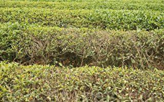 干旱少雨生长不良 名间春茶减3成