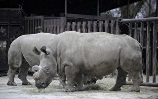 全球最後一隻雄性北非白犀牛 前途未卜