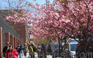 櫻花可算是報春的花卉,告別料峭春寒,櫻花就在枝頭綻放。今年,掩映在一百多棵櫻花海中的孔廈,將顯得分外巍峨壯麗。圖為孔廈地威臣街人行道邊的櫻花樹。(蔡溶/大紀元)