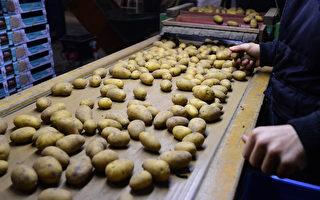 荷蘭鹽鹼地培育馬鈴薯 味道不鹹反甜