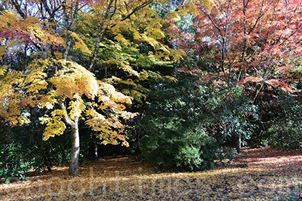 威爾遜山(Mount Wilson)樹木絢麗多彩,楓葉紅了,引來了踏紅人們,到此欣賞秋色。(華苜/大紀元)