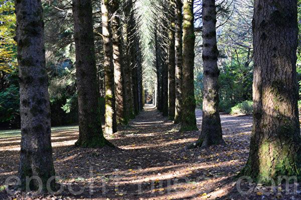 Breenhold花園裡有一公里長的松樹林一直延伸到國家公園,可作防風層擋住大風。(華苜/大紀元)