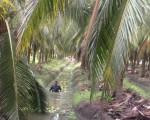 一畦一畦的椰子田,雨季四周灌满了水。(图:信男国际贸易提供)
