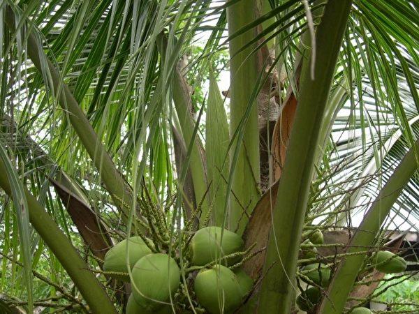 漂亮的香椰,里面的椰子水是天然的运动饮料。(图:信男国际贸易提供)