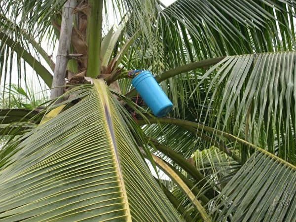 采集椰子花蜜。(图:信男国际贸易提供)