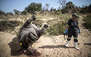 南非犀牛盗猎猖獗 今年已393只丧命