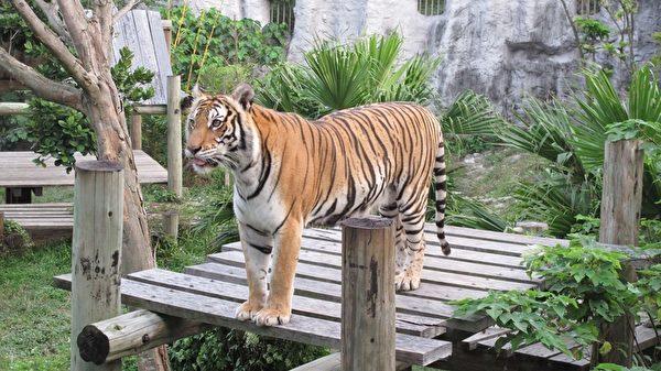 目前,高雄壽山動物園正與泰國國家動物園管理局孟加拉虎洽談引進孟加拉虎。(高雄市政府提供)