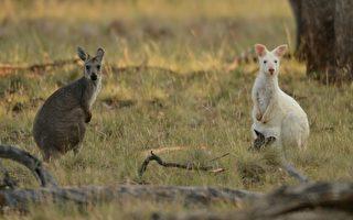 失去棲息地 新州一年一千萬本土動物喪生