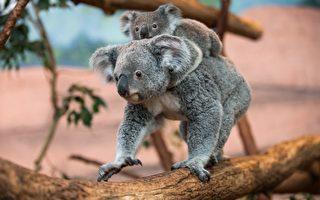 澳洲擬撲殺無尾熊  動保人士反彈