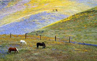 冬季少雨多陽 氣候變遷滅絕加州野花
