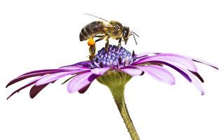 研究:蜜蜂也能患癡呆 鋁污染為禍因