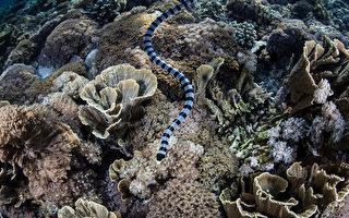 海边游泳或潜水要注意海蛇